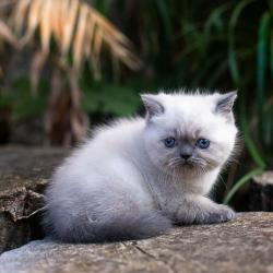 Persian cat for sale in Greece σε Athens
