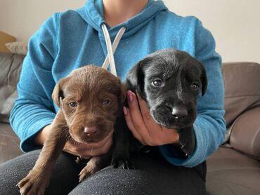 Πώληση κουτάβια Labrador RetrieverLabrador Retriever κουτάβια προς