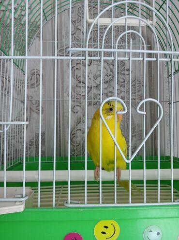 2357 объявлений: Продам волнистого попугая (девочку) с клеткой