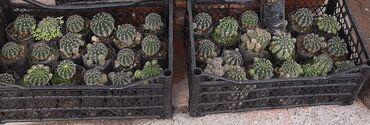 Otaq bitkiləri - Azərbaycan: Yalniz 2 gun. Wok wok endirim1 AZNEndirimmmKaktuslar topdan satilir