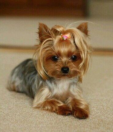куплю йоркширского терьера в Кыргызстан: Куплю щенка девочку йоркширского терьера.стандарт.не дорого
