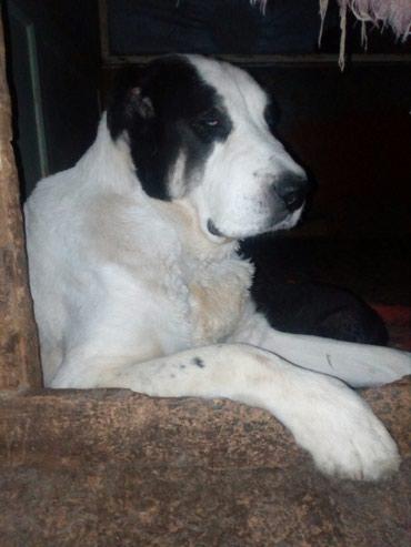 Продаю чистокровных щенков в Бишкек
