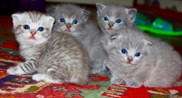 Bakı şəhərində 3 котеночка-шотландца,все-самцы.170АЗН