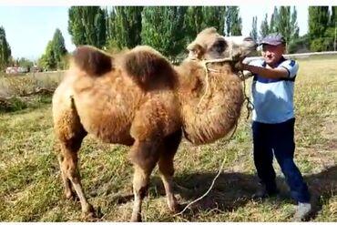 44 объявлений | ЖИВОТНЫЕ: Тоо-Верблюд 2,5 жаш эркек жоош