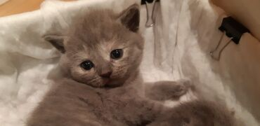 вислоухий сиамский кот в Азербайджан: Вислоухие и прямоухие котята