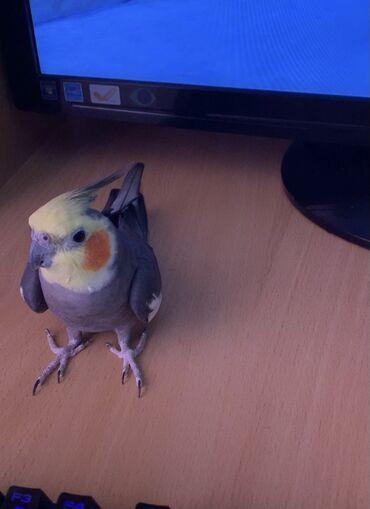 �������� ������������ ������������ в Кыргызстан: Попугай нимфа-корелла Кеша. Ищу попугайчика Кешу. Самец, лет 10. Очен