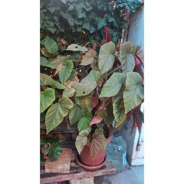 Digər otaq bitkiləri