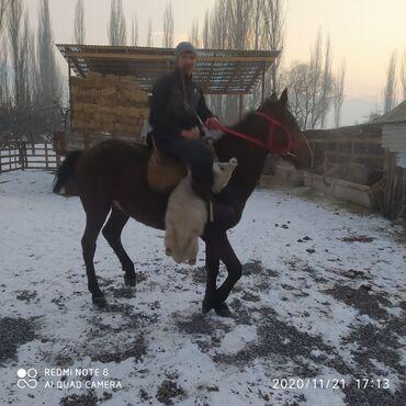 С/х животные - Кыргызстан: Продаю   Конь (самец)