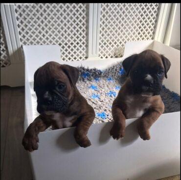 Неверојатни боксерски кутриња на продажба Имаме тука две прекрасни бок