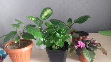 Другие комнатные растения - Кыргызстан: (Диффенбахия,гибискус,глоксиния,каланхоэ махровая красная,фиалка)