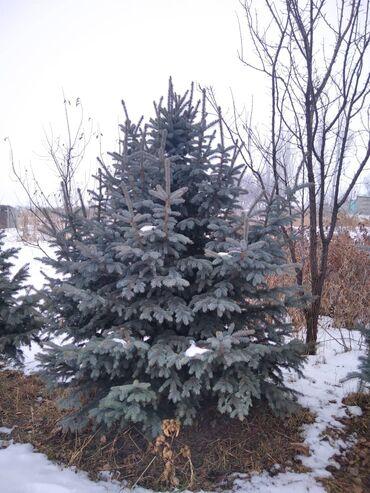 adrien gagnon витамины отзывы в Кыргызстан: Продажа и посадка всех видов Хвойных деревьев.Плодовых