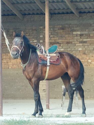 Животные - Манас: Лошади, кони