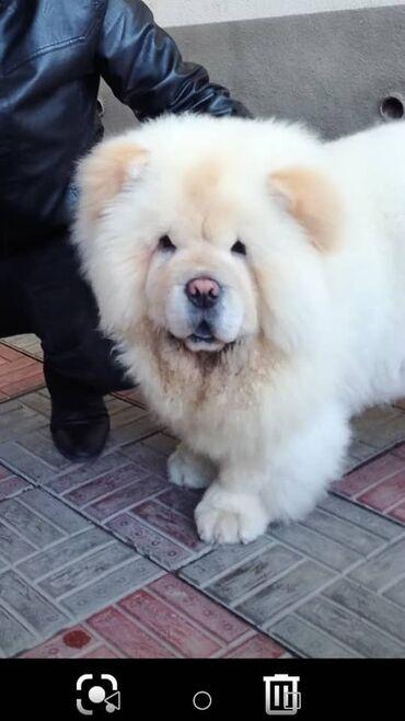 собаки сколько стоит в Кыргызстан: Случка!!! Чистокровный ЧАУ-ЧАУ. Кобель ищет себе подругу. Цена договор