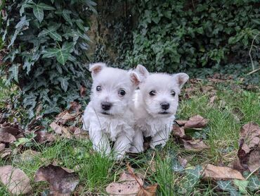 West Highland Terrier puppies for sale West Highland Terrier puppies