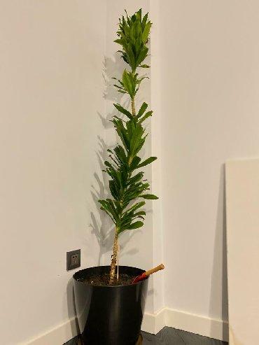 bitki guli - Azərbaycan: Satilir. Drazena agaji. 155 sm. Ev ve ofis uchun bitki. 175 azn