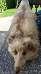 Krznena lisica, dobro očuvana - Leskovac