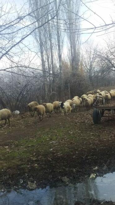 Овца (самка), Ягненок, Баран (самец) | Другая порода
