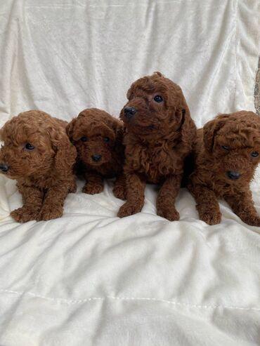 Όμορφο γενεαλογικό μινιατούρα Poodle Χαίρομαι που τώρα διαφημίζω τα κο
