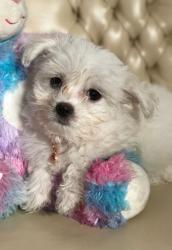 We have a litter of 3 pure breed Maltese puppies (both mum and dad σε Athens