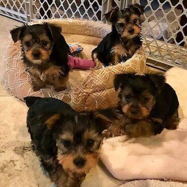 Για σκύλους - Αθήνα: Εγγεγραμμένα κουτάβια yorkie Τρέχοντες εμβολιασμοί, Κτηνιατρική