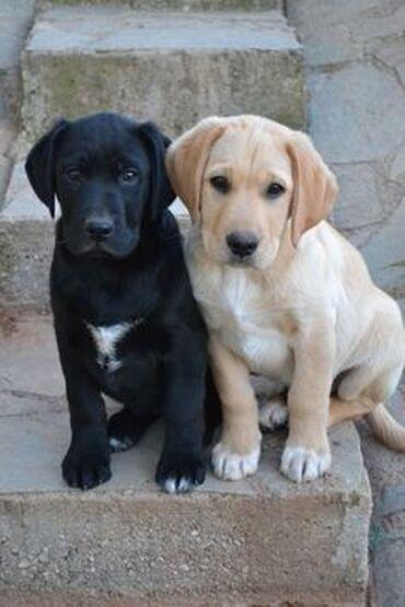 Νεαρά κουτάβια PugΑυτά τα δύο εκπληκτικά νεαρά κουτάβια είναι 10