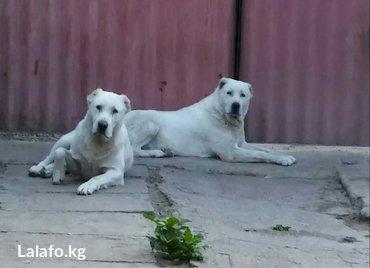 Продаются щенки алабая в Бишкек