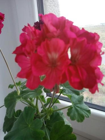 комнатный-цветы в Кыргызстан: Комнатный цветок, пеларгония. 250 сом. Токмак