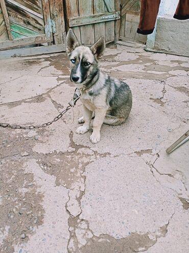 Животные - Кемин: Продаю собаку породу Хаски зовут Грета