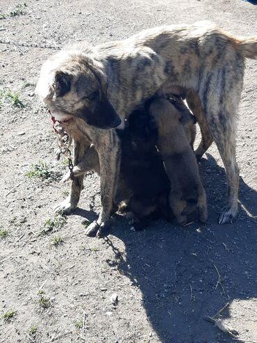 afcarka balalari satilir - Azərbaycan: Çoban İt Balaları Satılır 100%