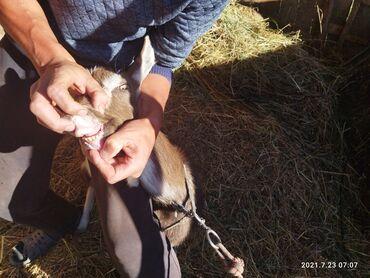 Животные - Кызыл-Суу: Срочно продаю