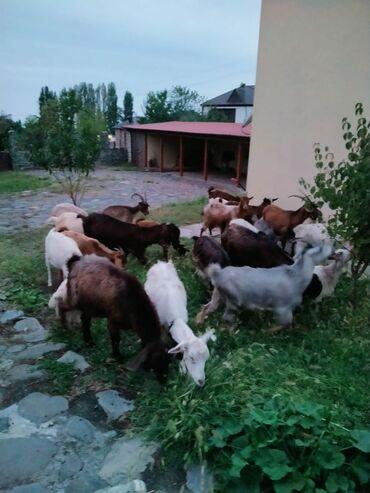 19 elan | HEYVANLAR: 5sannen.5heleb.14denede yerli keçi satılır.Kom