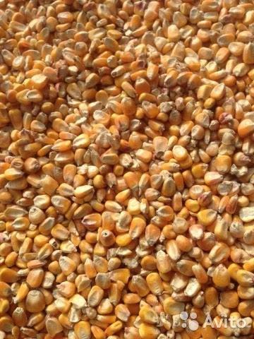 Куплю кукурузу, в качанах, сухую в в Беловодское