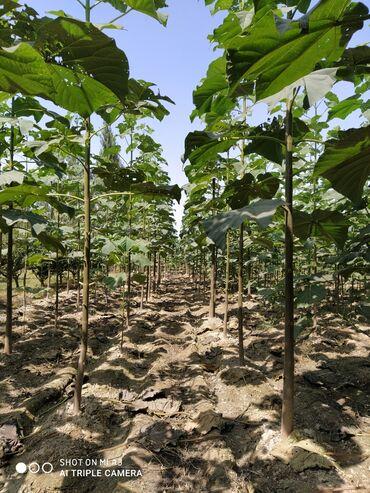 Комнатные растения - Кызыл-Кия: Павловния