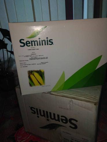 продажа семена в Кыргызстан: Продаю семена сахарной кукурузы от фирмы Семинис Трофи Ф1. Оригинал!