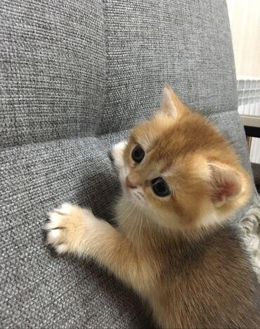 Чистокровные британские котята . Окрас золотая шиншилла. Лиловое золот