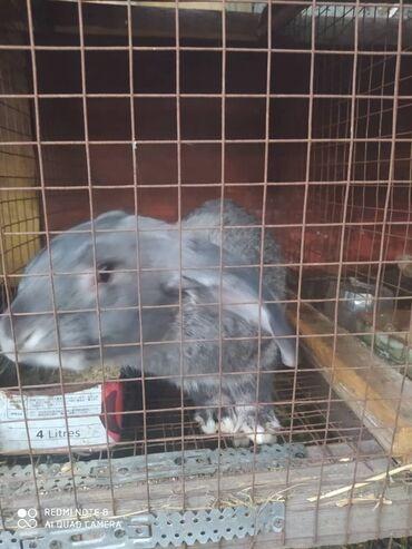 Продаю семимесячных кроликов. 800 сом, бабочка 1500 сом
