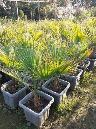 Otaq bitkiləri - Lənkəran: Palma waşington.Bakıyada sifarişler çatdırılır