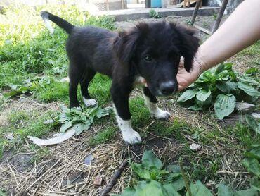 двойка-для-мальчика в Кыргызстан: Отдам щенка ( мальчика) в хорошие условия.Возраст 3 месяца, прививит