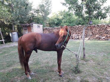 Животные - Балакен: At satılır. 5 yaşı tamam deyil.Yaxşı yorğası var.Adres Zaqatala
