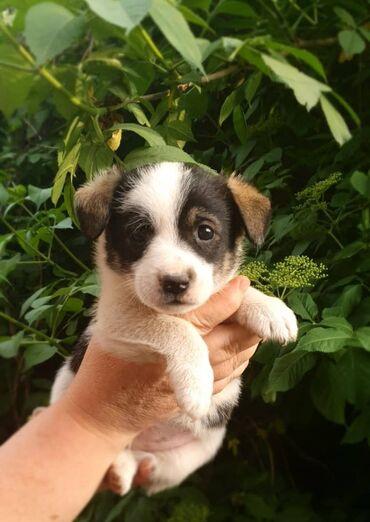 Собаки - Кыргызстан: Пристраиваются самые чудесные щенки в мире.Все мальчишки.Возраст 1,5