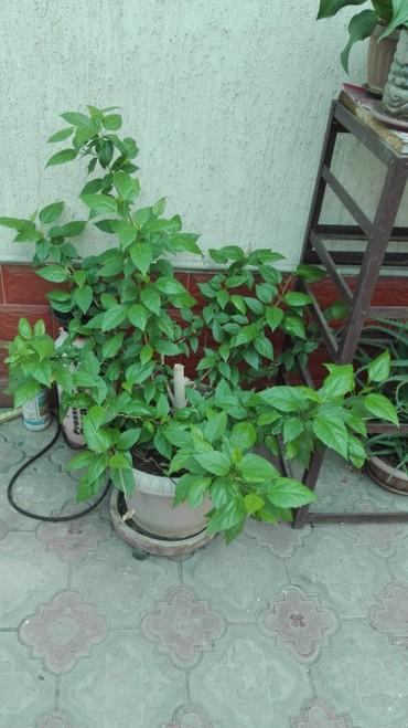 Продаю китайскую розу - гибискус . Или меняю на орхидею. в Бишкек