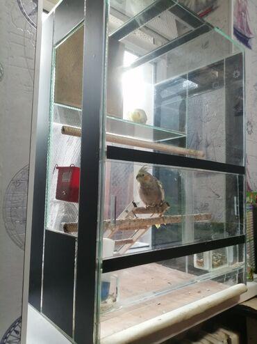 Продаю попугаев Карэлла парочку (можно приручить к рукам и научить