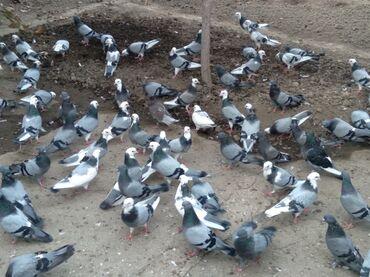 58 elan | HEYVANLAR: Quşlar