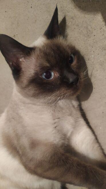 1578 объявлений: Пристраиваю кошку. Ей примерно 1,5-2 года. Стерилизована. Обработана о