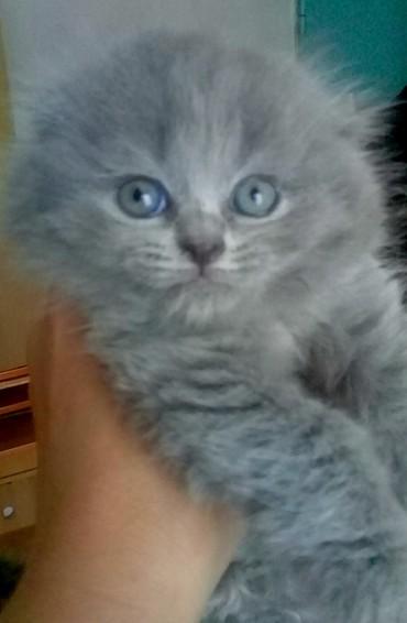 Шотландские котята. Ласковые и милые в Бишкек