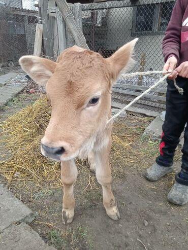 Другие животные - Кыргызстан: Тёлачка от хорошого коровы 3 недели