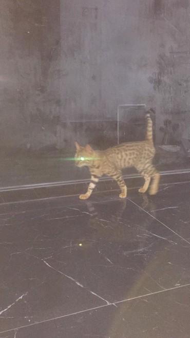 pisik-satisi - Azərbaycan: Бенгальский котенок benqal pisik