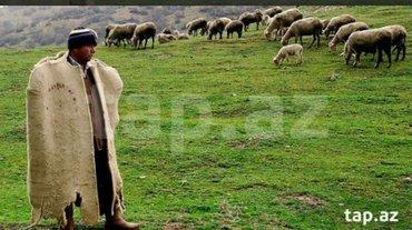 Xırdalan şəhərində Fərmada çoban işçi tələb olunur. ailəli olsun. qalmağa yer var. mal-qa