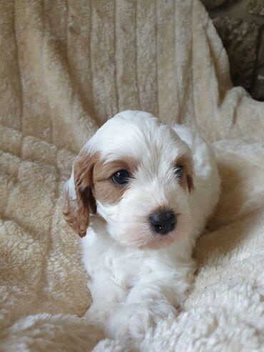 Ευχάριστα και υπέροχα νεαρά σκυλάκια cavapoo προσβάσιμα για να είναι σ