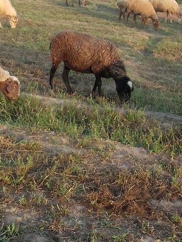 Cins qadin bosonojkalari - Azərbaycan: Yeni Cins Romanov heyvanlaridir.Anasi yaninda sud emer balasi 350azn